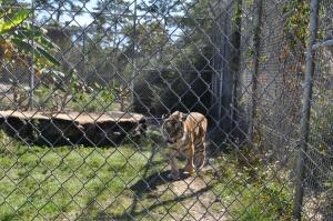 Tiger-at-Gulf-Breeze-Zoo