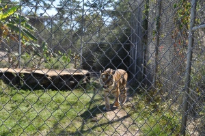 Tiger-at-Gulf-Breeze-Zoo
