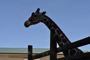 Giraffe-at-Gulf-Breeze-Zoo