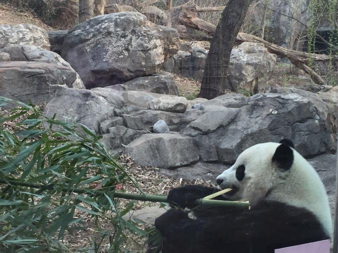panda_closeup