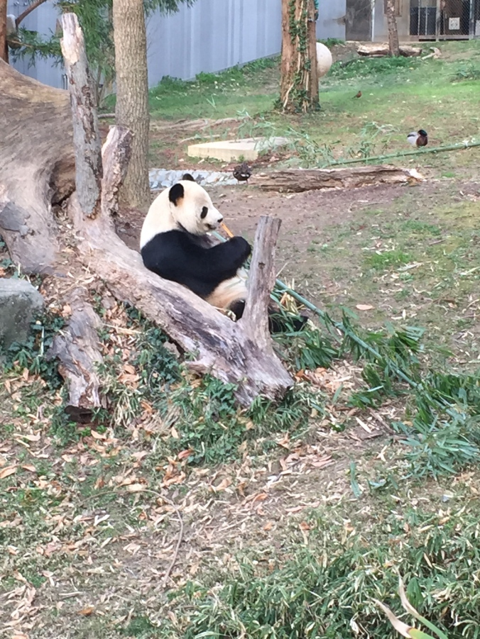panda_eating_bamboo