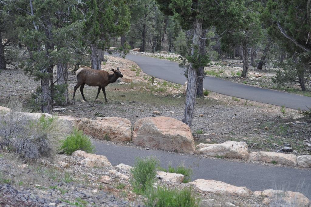 mule_Grand_Canyon